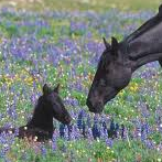 Wild Horses & More! Pryor Mountains