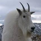 Goat Lick