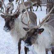 Big Sky's Lil' Norway Reindeer Farm