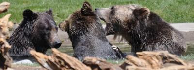 Grizzly and Wolf Discovery Center West Yellowstone Grizzly and Wolf Discovery Center West Yellowstone Montana (photo courtesy of GWDC Website)