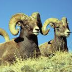 East Fork Bighorn Sheep Herd Viewing Area